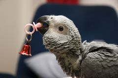 Baby African Grey. Holding a Toy Pacifier Royalty Free Stock Photo