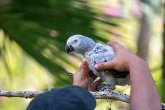 Baby African grey parrot with red tail hang on to the branch in the forest stock images