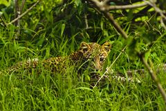 Baby African Leopard sitting in grass in Kruger Park South Afric. A Royalty Free Stock Image