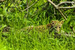 Baby African Leopard sitting in grass in Kruger Park South Afric. A Stock Images