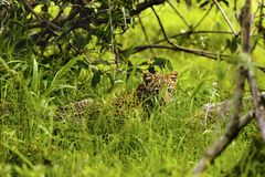 Baby African Leopard sitting in grass in Kruger Park South Afric. A Stock Photography