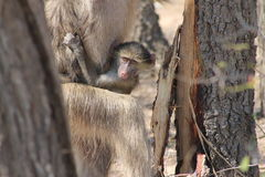 Baby African Monkey royalty free stock images