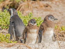 Baby African Penguins Stock Images