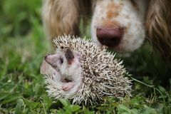Baby African pygmy hedgehog royalty free stock images
