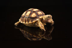 Baby African Spurred Tortoises Stock Image