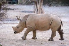 Baby african white rhino. A Baby african white rhino royalty free stock image