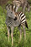 Baby african zebra Stock Photos
