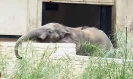 Baby Afrikaanse Elepahant Stock Afbeeldingen