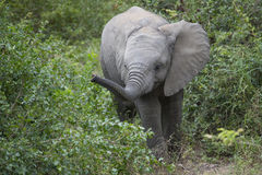 Baby Afrikaanse olifant in natuurlijke habitat stock foto