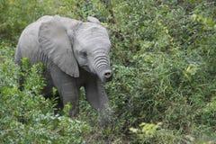 Baby Afrikaanse olifant in natuurlijke habitat royalty-vrije stock foto's