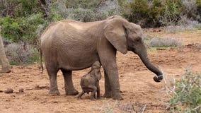 Baby-afrikanischer Elefant-Fütterungskampf stock video footage