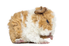 Baby Alapaca Guinea Pig, 1 day old, isolated Stock Image