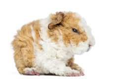 Baby Alapaca Guinea Pig, 1 day old, isolated Stock Images