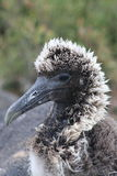 Baby Albatross Stock Photo