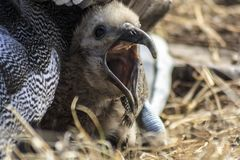 Baby Albatross with its peak open royalty free stock images