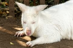 Baby Albino Kangaroo Royalty Free Stock Photos