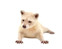 Baby albino raccoon isolated Royalty Free Stock Images