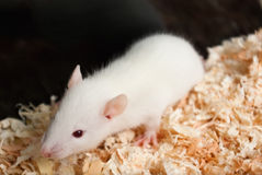 Baby albino rat Stock Photos