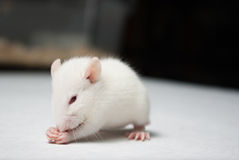 Baby albino rat on white paper in lab Stock Image