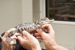 Baby Aligator Royalty Free Stock Image