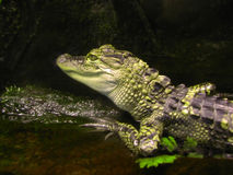 Baby Alligator. Young Florida green and gray alligator sunning himself Stock Photo