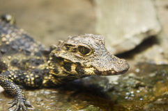 Baby Alligator Stock Images