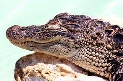 Baby alligator. He is sleeping stock photography