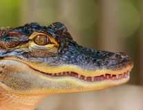 Baby Alligator. Closeup Royalty Free Stock Photography