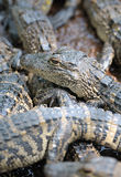Baby alligator Royalty Free Stock Photos