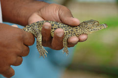 Baby Alligator Royalty Free Stock Photo