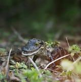 Baby-Alligator Stockfoto