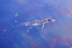 Baby Alligator Stock Photos
