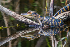 Baby Alligator. Close View Of Baby Alligator Resting On Submerged Tree Log With Reflection In Water Royalty Free Stock Images