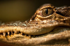 Baby Alligator Eye Stock Image