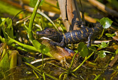 Baby Alligator in Florida swamp Royalty Free Stock Image