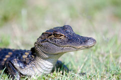 Baby alligator in the grass Royalty Free Stock Photo