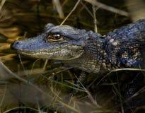 Baby Alligator on Log stock images