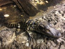 Baby Alligator Mississippiensis. Stock Image