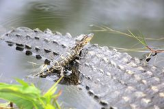Baby alligator on mother`s tail. Baby alligator sunning on mother`s tail in Florida Everglades stock image