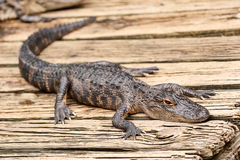 Baby alligator resting on a wooden plank Royalty Free Stock Images