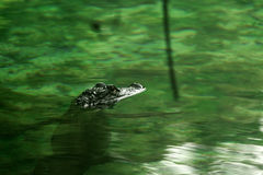 A Baby Alligator Waits Royalty Free Stock Image