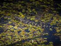 Baby alligator in water. Baby alligator swimming in water stock photos