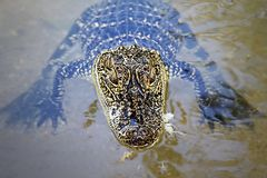 Baby Alligator In The Water. Young alligator in the water in close up with head out of water Royalty Free Stock Image