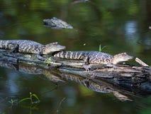 Baby Alligators Royalty Free Stock Photo