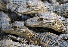 Baby alligators Stock Photography