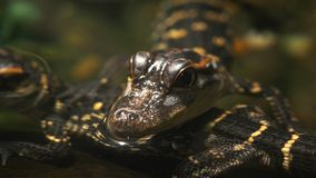 Baby alligators close up. Close up of two baby american alligators in a pool of water stock footage