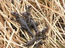 Baby alligators in nest Stock Photography