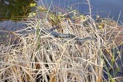 Baby Alligators Royalty Free Stock Photography