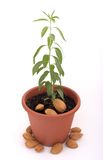Baby almond tree. And almond stock photos