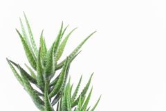 Aloe vera plant isolated on white Stock Images